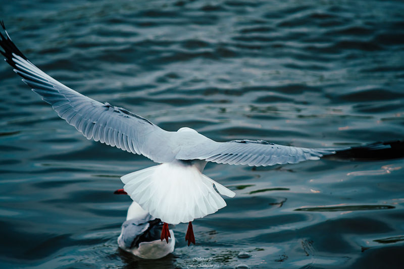 Bird Animal Themes Animal Animals In The Wild Animal Wildlife Vertebrate Flying Spread Wings Water One Animal Day No People Nature White Color Sea Waterfront Animal Wing Seagull Flapping