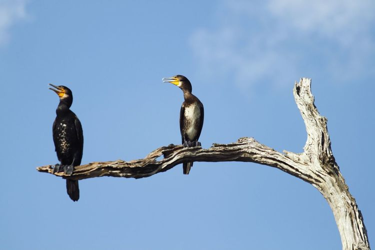 Great Cormorant Thekkady Kerala Branches Lower Perspective Minimalism Throw A Curve