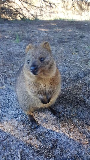 One Animal Looking At Camera Sand Portrait Day Beach Outdoors Nature Animal Themes Mammal Animals In The Wild No People Animal Wildlife Close-up quokka