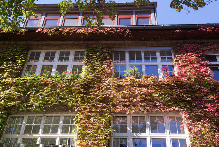 Grapewine Leaves Architecture Autumn Balcony Building Building Exterior Built Structure City Day Façade Grape Green Color Growth Low Angle View No People Outdoors Plant Sky Tree Window