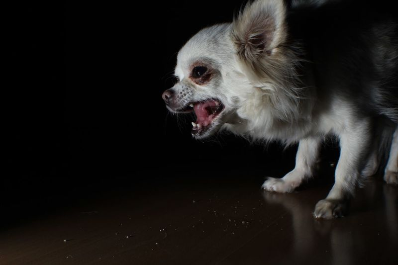 Close-up of chihuahua on floor