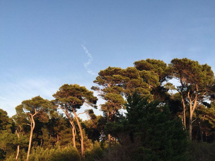 Aleppo pine 2, Veli Losinj, Croatia, 2016. Veli Lošinj Croatia Rovenska Pine Pine Tree Tree Aleppo Pine Nature Tranquility Sunset Beauty In Nature Colors Orange Outdoors Orange Color Growth
