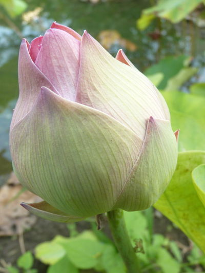 lotus Nature Flower Leaf Lotus Day Outdoors Springtime Plant Lotus Flower Growth Fragility Petal Freshness Close-up Beauty In Nature No People Vulnerability  Pink Color Inflorescence Flowering Plant Flower Head Focus On Foreground Lotus Water Lily Plant Part Aleq Vulnerability  Green Color