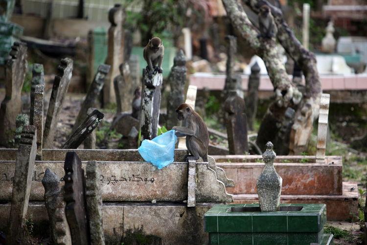 Monkeys At Graveyard