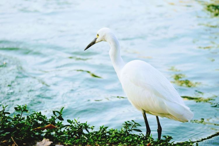 The hunter Animals In The Wild White Color One Animal Animal Themes Bird Water Lake Nature Animal Wildlife Day No People Great Egret Outdoors Swan Beauty In Nature Close-up