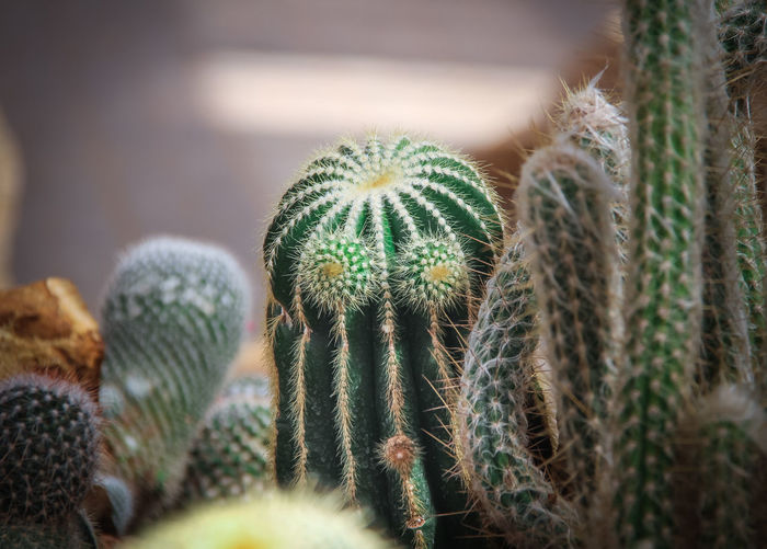 Close-up of cactus plant that looks like person