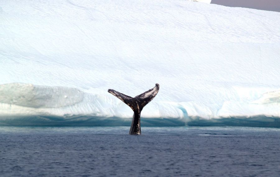 this is my absolute best shot! Best EyeEm Shot Whale Sea My Best Photo 2016 EyeEm Best Shots EyeEmBestPics EyeEm Nature Lover EyeEm Best Shots - Nature EyeEm EyeEmbestshots EyeEm Gallery EyeEm Animal Lover Eyeem Photography Ilulissat Iceberg Nature Nature_perfection The Real Greenland My World Check This Out Sea And Sky Tourist Destination Nature_collection Tourist Attraction  Icebergs