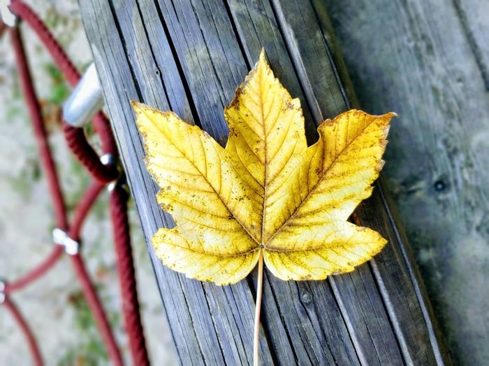 Close-up of yellow maple leaf on wood