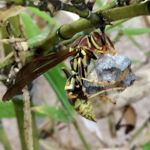 Wasp, macro shot, nature, wasp nest, bamboo Insects Collection