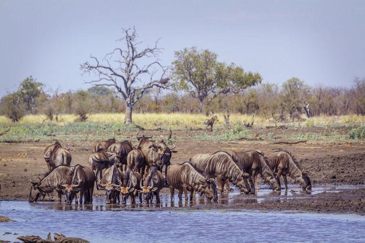Wildebeests standing in lake against sky