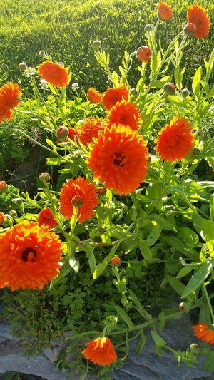 From my garden Flowers,Plants & Garden Calendula Officinalis