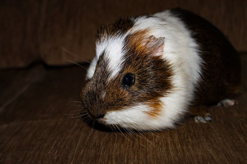 Close-up of guinea pig on hardwood floor