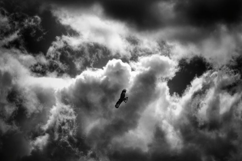 Eagle Black And White Mongolia Монгол улс Outdoors Day Cloud - Sky Beauty In Nature Animal Themes Animals In The Wild Animal Wildlife Spread Wings Bird Flying Mid-air Spread Wings Sky