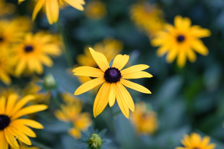 Close-up of yellow daisy