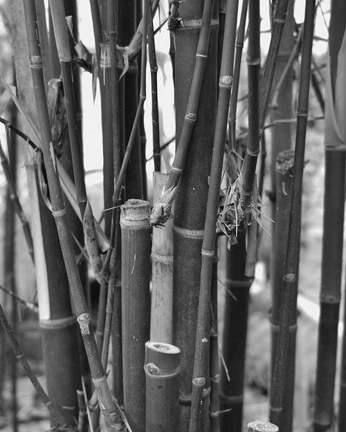 Bamboo Bamboo Blackandwhite Bw Czech Czechrepublic Nature Praha Prague Botanical Botanicgarden Beautiful Princely_shotz Ig_shotz_bw Ig_bw Ic_bw Ig_nature Ic_nature Photo Photoshoot Phographer Nikon Instaphoto Instadaily Marvelshots