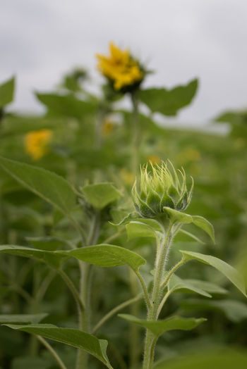 An evening walk in rainy weather revealed some nice views... Field Plant Sunflower Beauty In Nature Bud Close-up Day Flower Focus On Foreground Fragility Green Color Growth Leaf No People Outdoors Plant Selective Focus