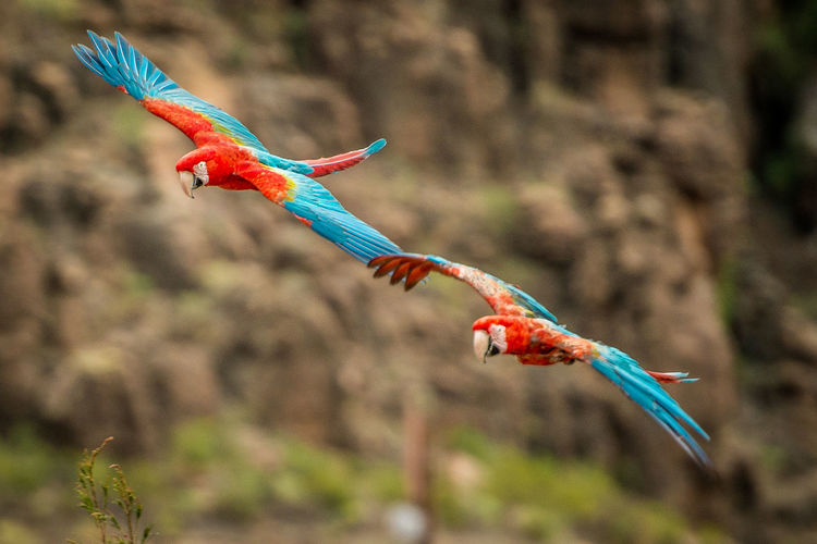 Macaw in flight Bird Photography Macaw Bird Animal Themes Animal Wildlife Animals In The Wild Beauty In Nature Bird Birds Birds_collection Blue Close-up Day Flying Macaw Macaw Parrot Mid-air Multi Colored Nature No People Outdoors Parakeet Parakeets Parrot Scarlet Macaw Spread Wings