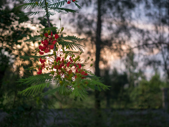 Thai view Plant Tree Growth Beauty In Nature Nature Selective Focus No People Flowering Plant Flower Focus On Foreground Day Freshness Close-up Green Color Outdoors Branch Red Land Fragility Plant Part Pine Tree Coniferous Tree