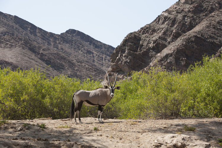 Side view of oryx standing against mountains