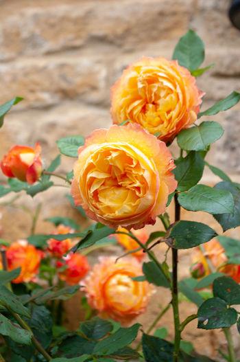 Close-up of orange rose plant