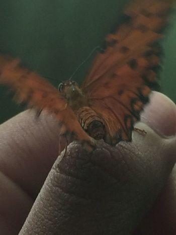 beautiful butterfly ?