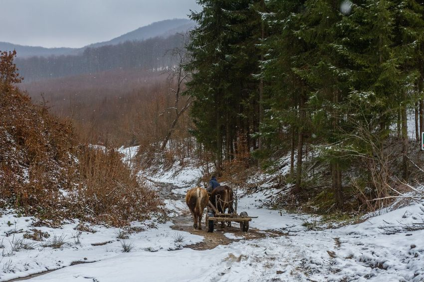 Carpathian Mountains Cold Weather Maramures Romania Winter Animal Themes Beauty In Nature Cold Temperature Day Domestic Animals Forest Landscape Maramures Roumanie Nature Outdoors Oxen Scenics Snow Snow Day Tree Winter Shades Of Winter