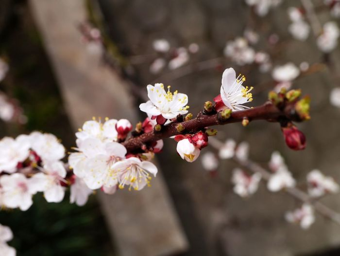 An Apricot Tree Branch Apricot Tree Flower Fragility Freshness Blossom Beauty In Nature Growth Petal Springtime Nature Tree Botany White Color Branch Flower Head No People Day