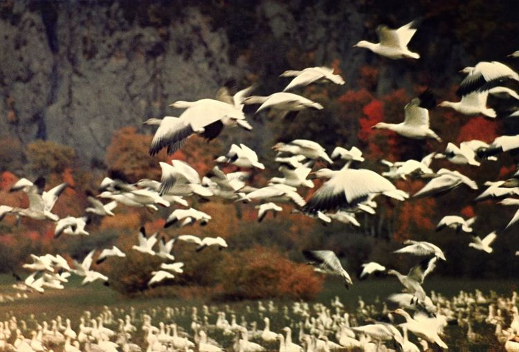Snow Geese Animal Themes Flock Of Birds Flying Close-up Snow Geese Snow Geese In Flight