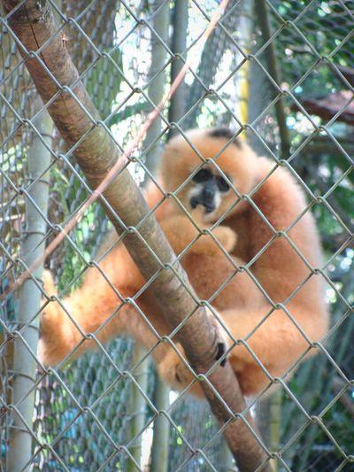 Showing Imperfection Blurred Wrong Focus Gibbon Rehab Rehabilitation Center Gibbonexperience Monkey Injured Animal Animals Rescued Animal Animal Photography Fence Fences EyeEm Nature Lover Phuket Thailand