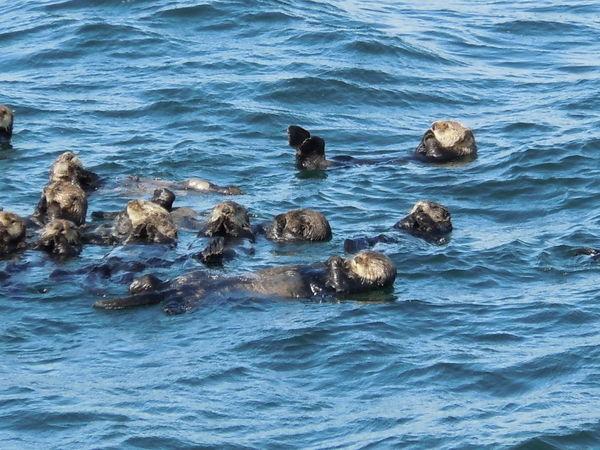 Otters in Alaska Alaska Animal Photography Animals Otters Travel