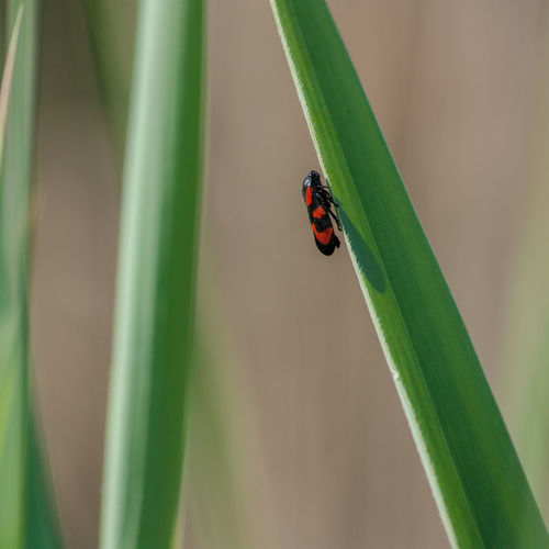Animal Themes Animal Wildlife Animals In The Wild Beauty In Nature Close-up Day Feuerzikade Focus On Foreground Grass Green Color Growth Insect Nature No People One Animal Outdoors Zygina Flammigera