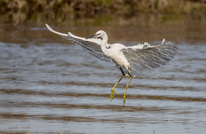 Egret in