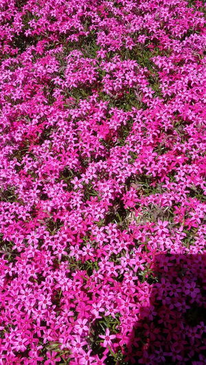 Phlox Phlox Flowers Pink Flower Flowerporn Flowers, Nature And Beauty Pink Color Pink Nature Backgrounds Botany Beauty Garden American Garden American Garden 2017 Eyeem Awards Nature Photography Naturelovers No Filter, No Edit, Just Photography