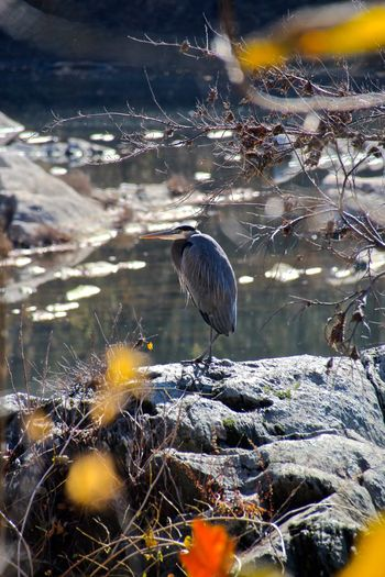 Animal Themes Animal Wildlife Animals In The Wild Beauty In Nature Bird Day Grey Heron  Heron Maryland Nature No People One Animal Outdoors Perching Potomac Potomac River USA Wildfowl Wildlife