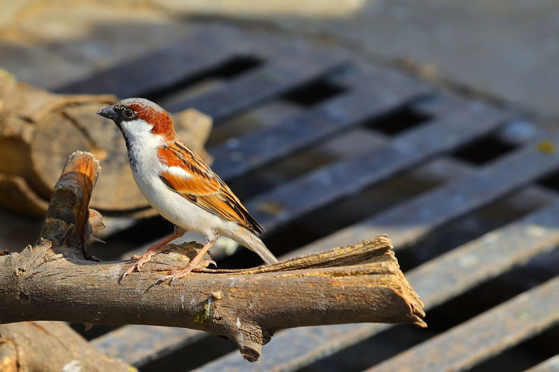 Domestic sparrow bird perching on dry wood