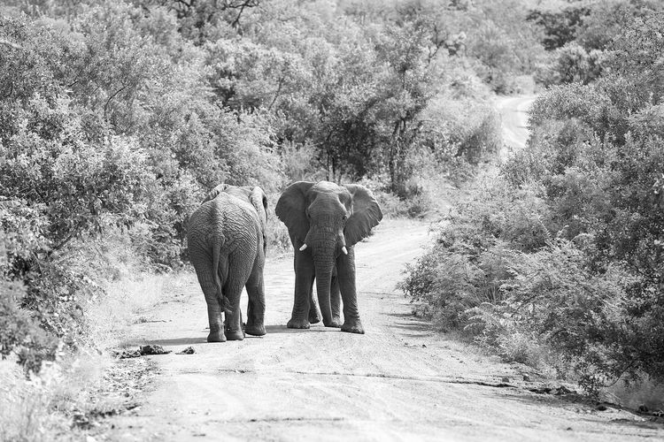 Elephants walking on road in forest