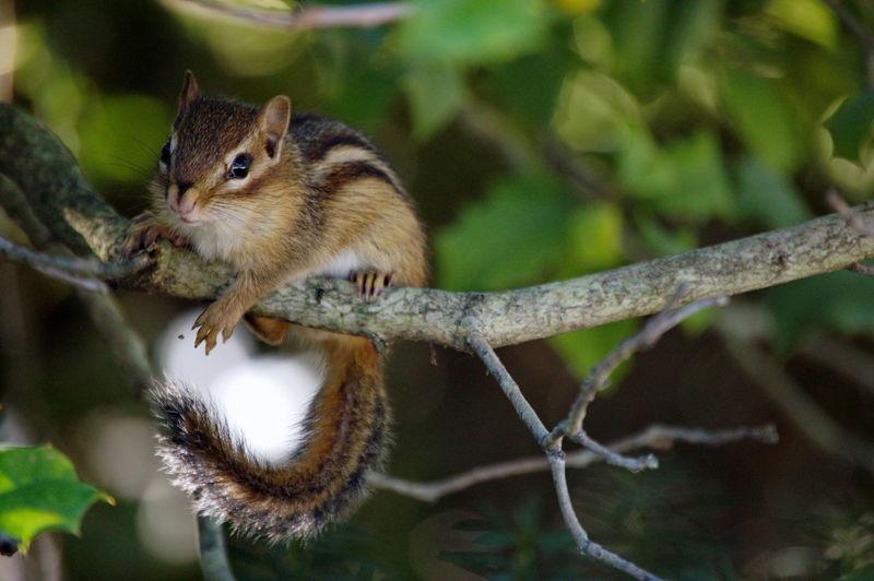 Chipmunk Nature