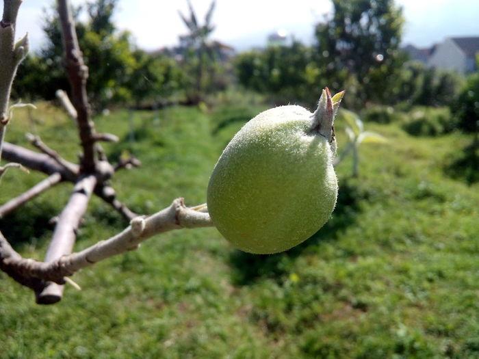 Ovary of Apple ... Fruit Apple - Fruit Ovary Manalagi Apel Malang Batu,malang Malangcity INDONESIA 2015