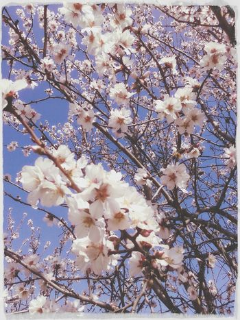 Spring Flower The Tree Apricot Tree