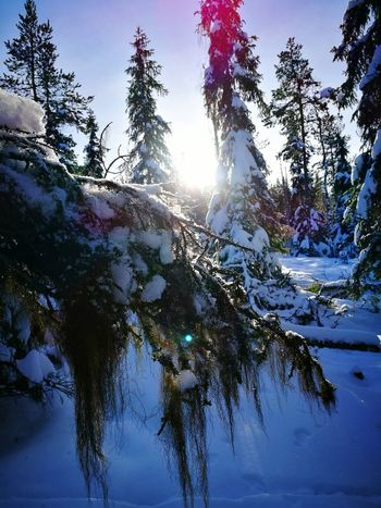 Tree Sunlight No People Sun Winter Snow Outdoors Cold Temperature Nature Day Sky Beauty In Nature