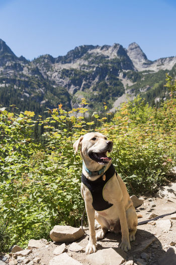 Evergreen alpine forest with yellow labrador retriever dog sitting on rocky trail in mid day sun.