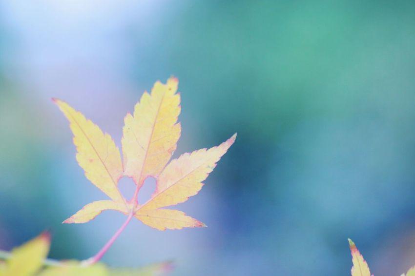 Macro Autumn Leaf Sapporo Hokkaido Beauty In Nature Maple Nature Heart EOS 6D