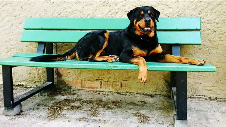 Dog Pets Animal Lying Down One Animal Mammal No People Domestic Animals Portrait Animal Themes Day Outdoors Looking At Camera Relaxation Sitting Chair First Eyeem Photo