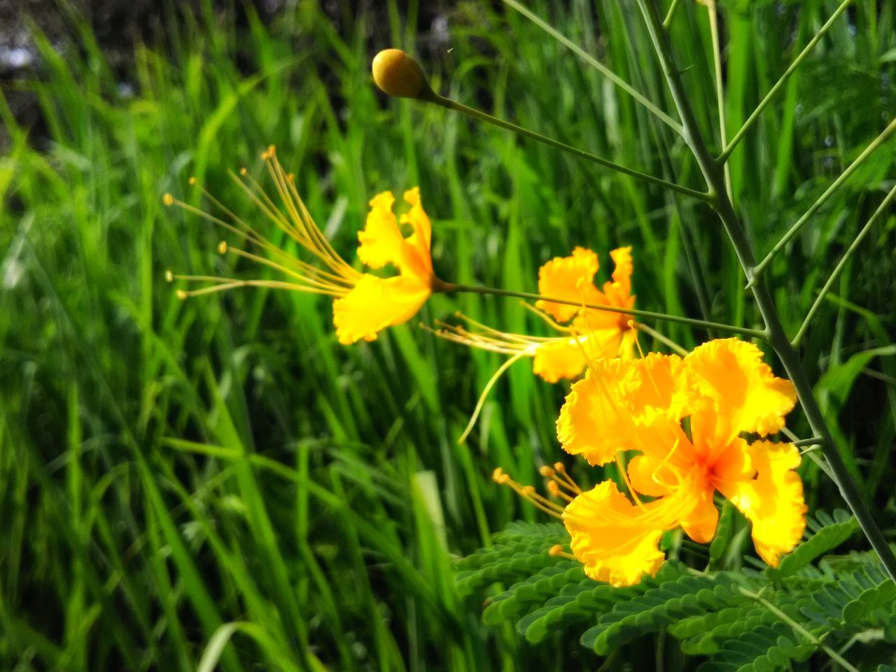 flower, yellow, growth, petal, fragility, freshness, nature, beauty in nature, flower head, plant, no people, outdoors, close-up, green color, blooming, day