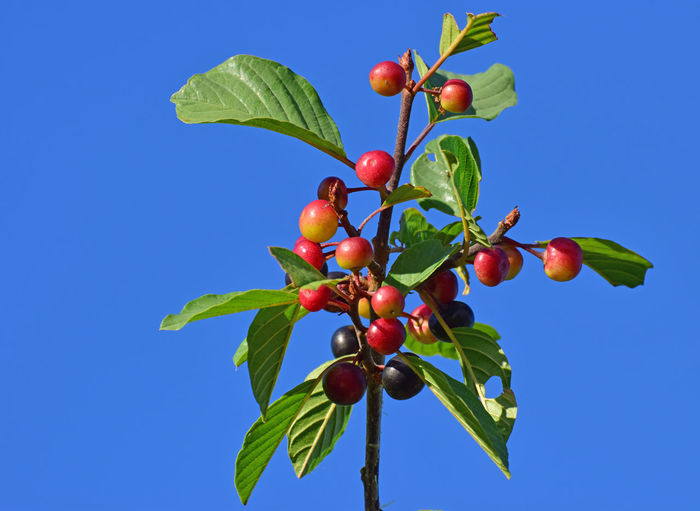 Fruit Healthy Eating Leaf Food Growth Sky Blue Tree Red Clear Sky