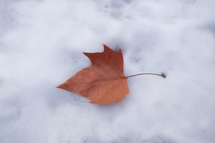 Close-up of dry maple leaf on snow covered land