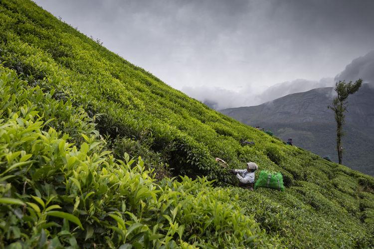 Woman Working On Tea Farm