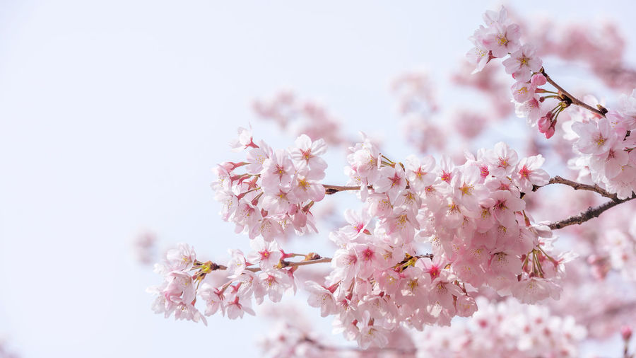 Cherry blossom in spring. spring season background, Sakura season in korea. Soft focus Apple Blossom Apple Tree Beauty In Nature Blossom Botany Branch Cherry Blossom Cherry Tree Close-up Day Flower Fragility Freshness Growth Nature No People Orchard Outdoors Petal Pink Color Selective Focus Springtime Stamen Tree Twig