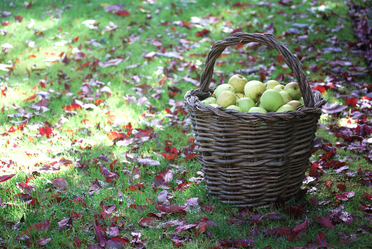 Orchard Apples Apple Orchards Abundance Apple Apples Basket Container Food Food And Drink Freshness Fruit Healthy Eating No People Orchard Outdoors Ripe Still Life Wellbeing Wicker
