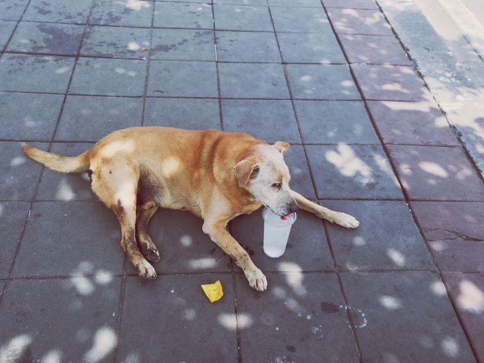 Hot day! Hot Day Thirsty Dog Brown Dog Thai Street Dog Cup Of Ice Water On Foothpath Happy Cold Drink Bangkok Thailand Midday Spotted In Thailand